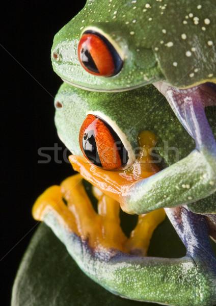 Flying лягушка джунгли красочный природы красный Сток-фото © JanPietruszka