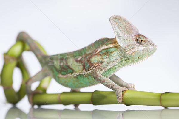 Chameleon bambusa biały odizolowany gad baby Zdjęcia stock © JanPietruszka