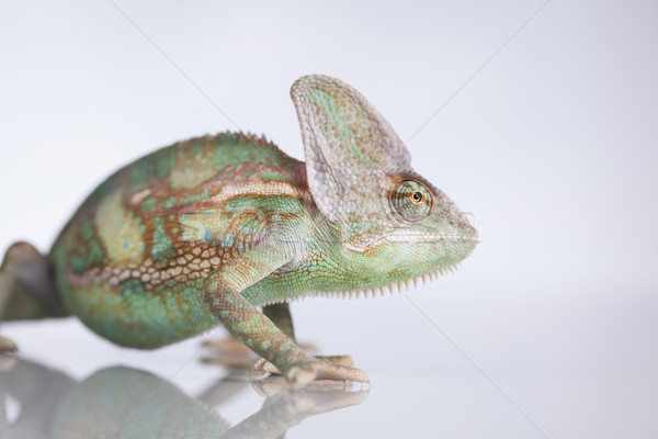 Green chameleon,lizard on white background Stock photo © JanPietruszka