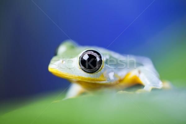Exótico sapo Indonésia verde tropical animal Foto stock © JanPietruszka