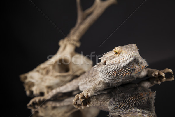 Animal Skull, Antlers, lizard  on black mirror background Stock photo © JanPietruszka