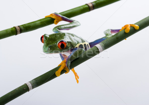 Green tree frog on colorful background Stock photo © JanPietruszka