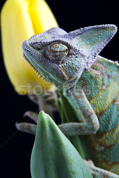 Chameleon and flower, bright vivid exotic climate Stock photo © JanPietruszka