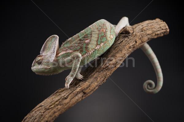 Animal camaleão lagarto verde bebê engraçado Foto stock © JanPietruszka
