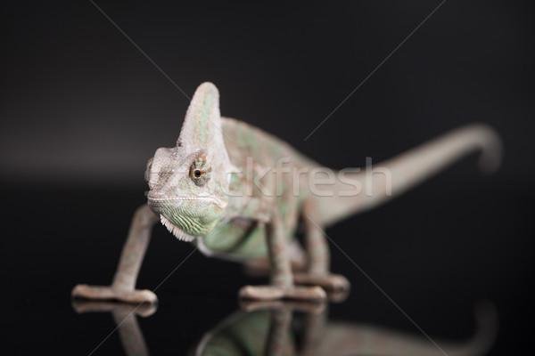 Chameleon jaszczurka odizolowany czarny lustra baby Zdjęcia stock © JanPietruszka