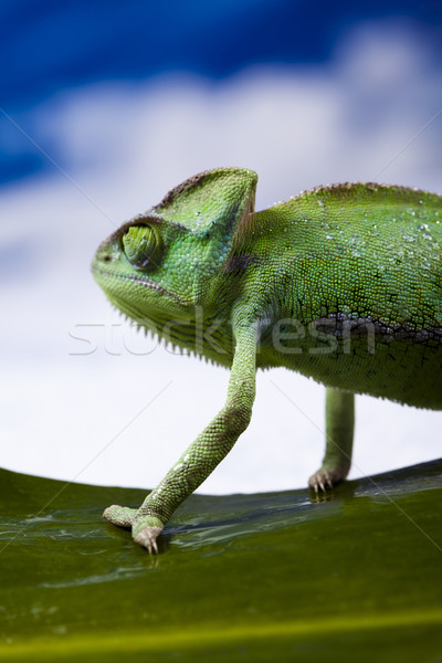 Chameleon Stock photo © JanPietruszka