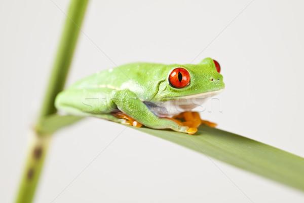 Rouge grenouille arbre vert coloré nature feuille Photo stock © JanPietruszka