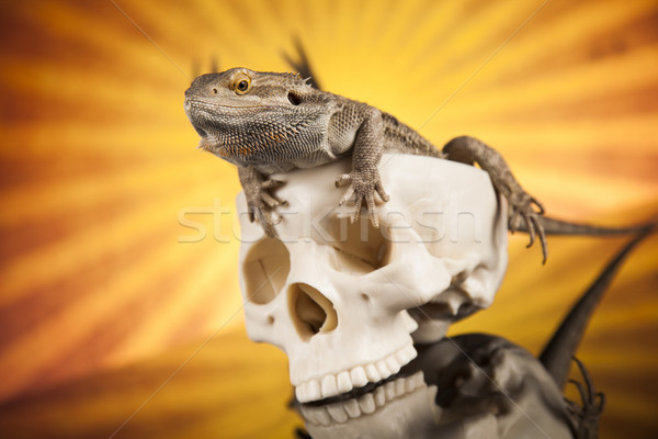 Lizard, human skull on black mirror background Stock photo © JanPietruszka
