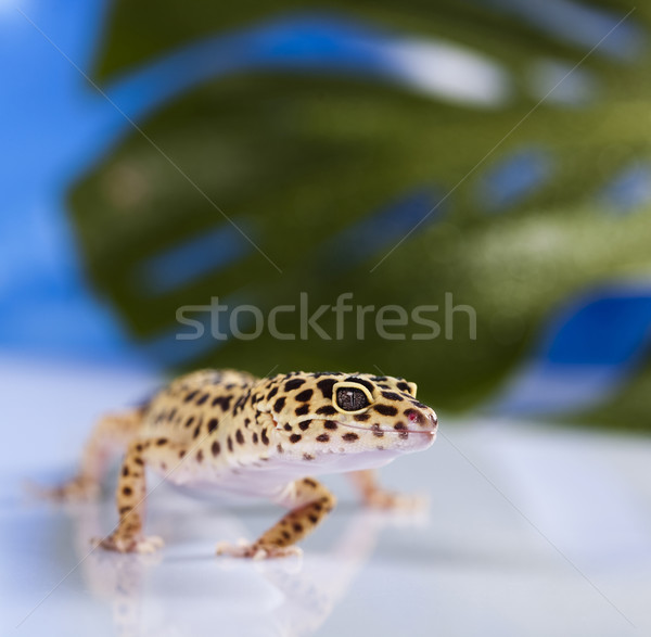 小 ヤモリ は虫類 トカゲ 眼 白 ストックフォト © JanPietruszka