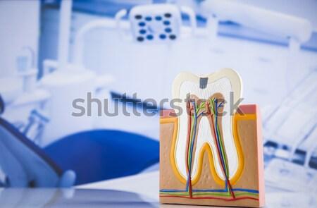 Anatomy of the tooth  Stock photo © JanPietruszka