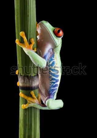 Red eye tree frog on leaf on colorful background Stock photo © JanPietruszka