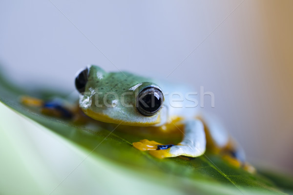 Zöld fa béka zöld trópusi állat esőerdő Stock fotó © JanPietruszka