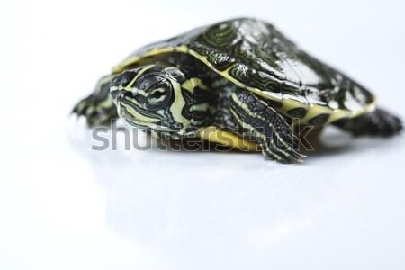 Devagar tartaruga naturalismo cabeça padrão animal Foto stock © JanPietruszka