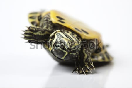 Turtle - isolated on white, egzotic natural tone concept Stock photo © JanPietruszka