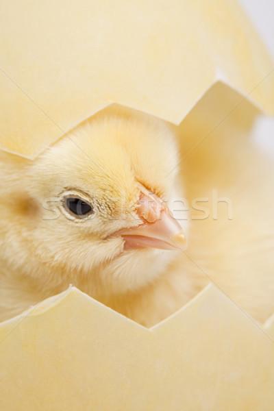 Húsvét fiatal csirke baba madár tyúk Stock fotó © JanPietruszka