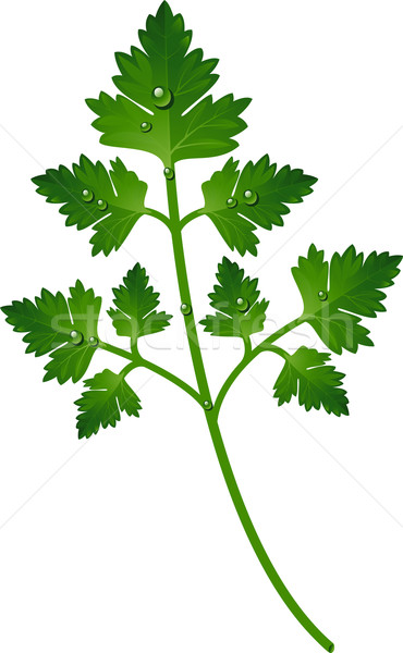 Branch of parsley Stock photo © jara3000