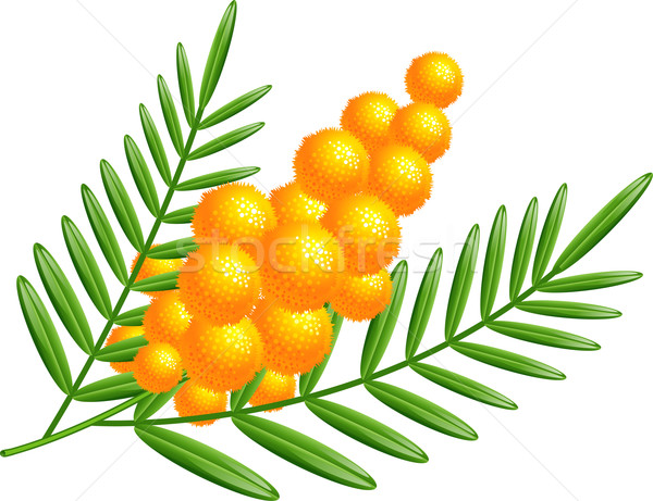Branch of mimosa Stock photo © jara3000