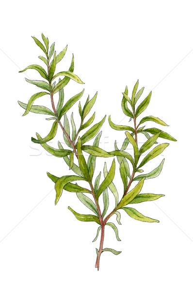 Sprig of rosemary. Watercolor illustration Stock photo © jara3000