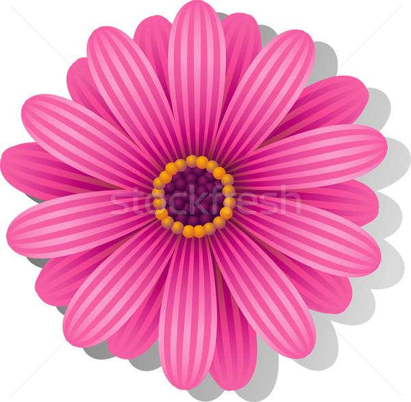 Beautiful pink Gerber Daisy Stock photo © jara3000