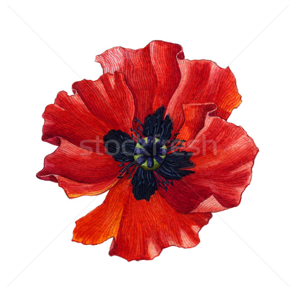Watercolor poppy Stock photo © jara3000