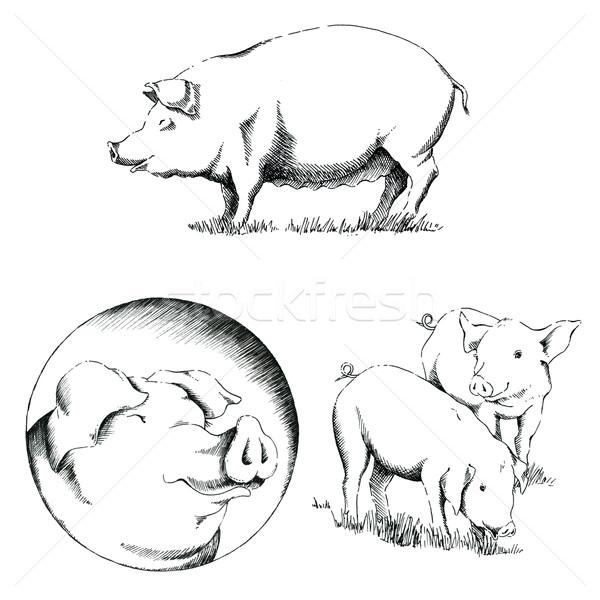 Porcs illustrations ensemble trois blanche crayon Photo stock © jara3000