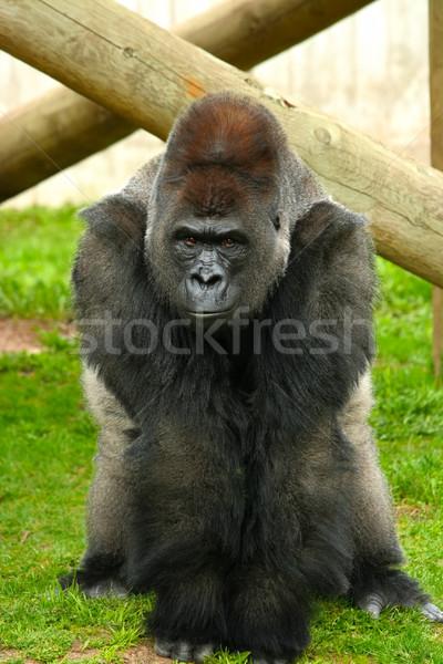 Silverback gorilla Stock photo © jarenwicklund