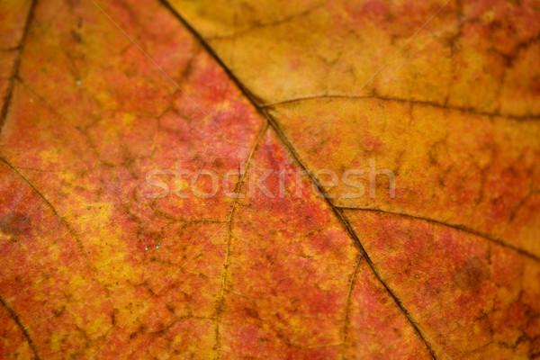 Blad aderen macro shot kleurrijk Stockfoto © jarenwicklund