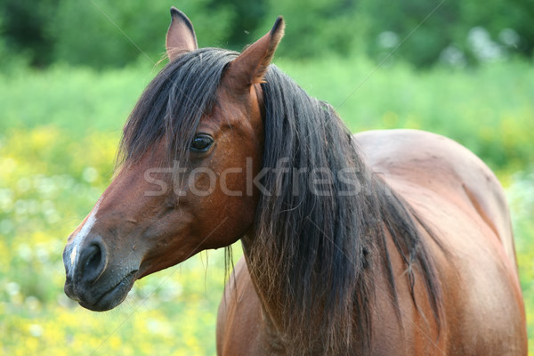 Stock photo: Beautiful brown horse