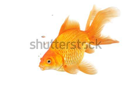 Belle Goldfish isolé blanche eau Photo stock © jarenwicklund