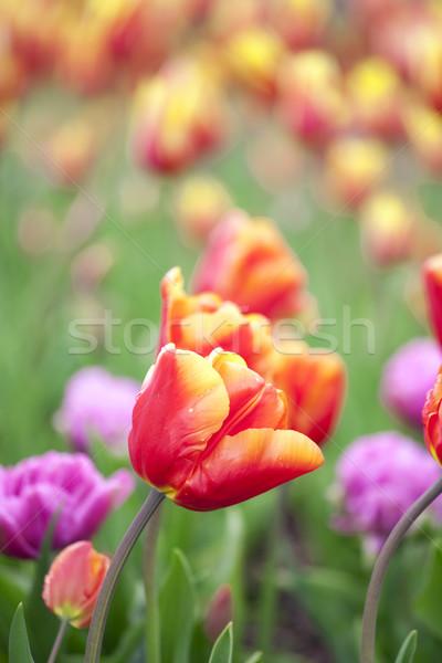 Beautiful field of colorful tulips Stock photo © jarenwicklund