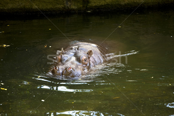 Hippo sticking head above water Stock photo © jarenwicklund