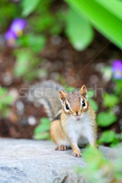 Adorable chipmunk on log Stock photo © jarenwicklund