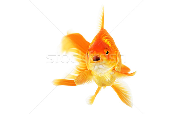 Schönen Goldfisch isoliert weiß tropischen Stock foto © jarenwicklund