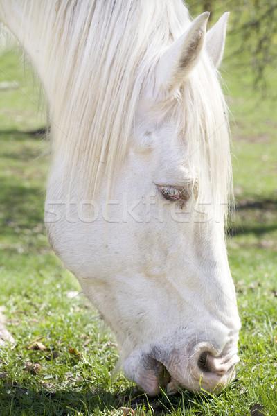 White draft horse eating grass Stock photo © jarenwicklund