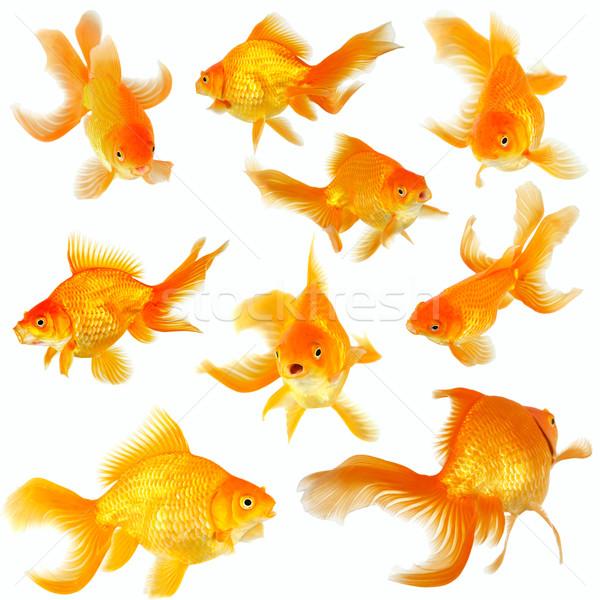 коллаж девять Goldfish белый красивой животного Сток-фото © jarenwicklund
