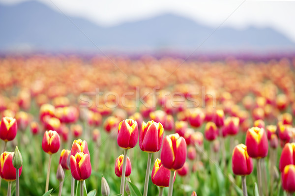 Beautiful colorful field of tulips Stock photo © jarenwicklund