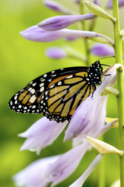 Beautiful monarch butterfly Stock photo © jarenwicklund