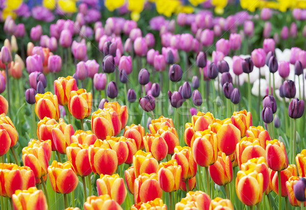 Photo stock: Coloré · mer · belle · tulipes · plein · fleurir