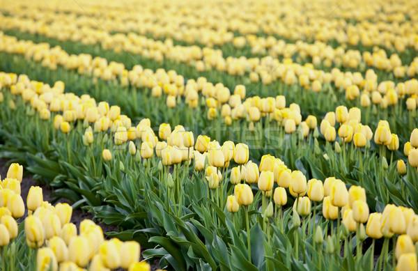 Bella colorato campo giallo tulipani natura Foto d'archivio © jarenwicklund