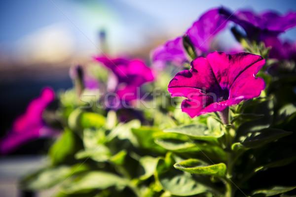 purple surfinia Stock photo © jarin13