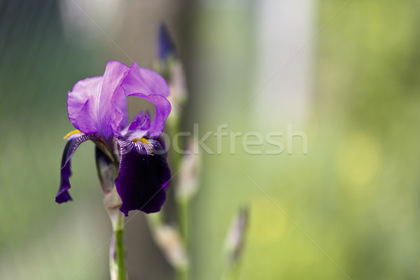 blooming iris Stock photo © jarin13