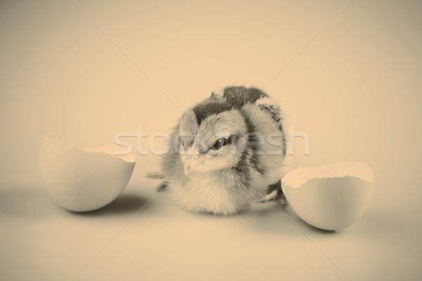 Aranyos kicsi tyúk ki fehér tojás Stock fotó © jarin13