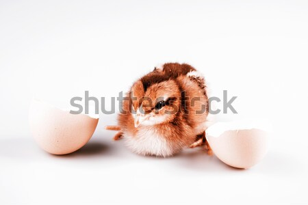 Cute little chicken coming out of a white egg isolated on white Stock photo © jarin13