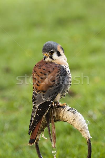 kestrel bird Stock photo © jarin13