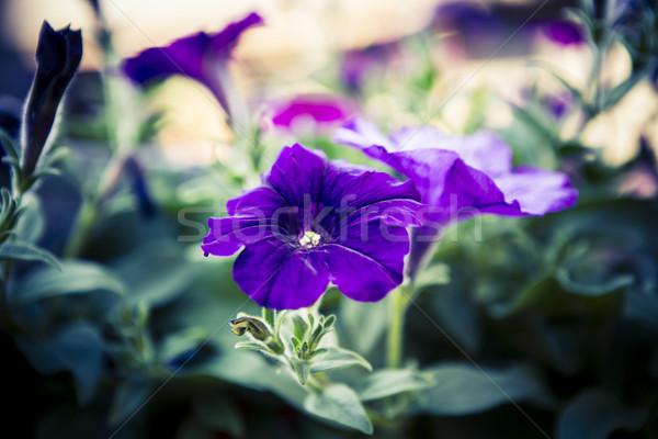Lila gyönyörű virág tavasz háttér zöld Stock fotó © jarin13
