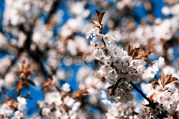 Stok fotoğraf: çiçekli · bahar · Çek · Cumhuriyeti · gökyüzü · çiçek