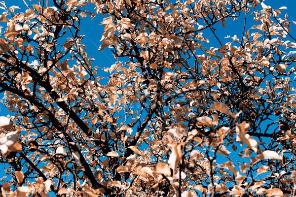 Outono belo blue sky textura árvore natureza Foto stock © jarin13