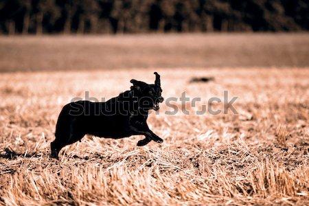Black Retriever Stock photo © jarin13