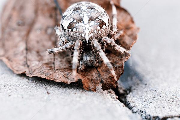 ストックフォト: ビッグ · オーブ · クモ · 葉 · ブラウン