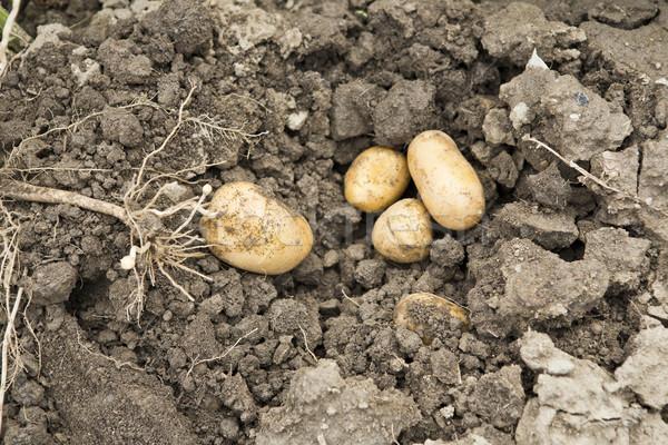 potato harvest Stock photo © jarin13